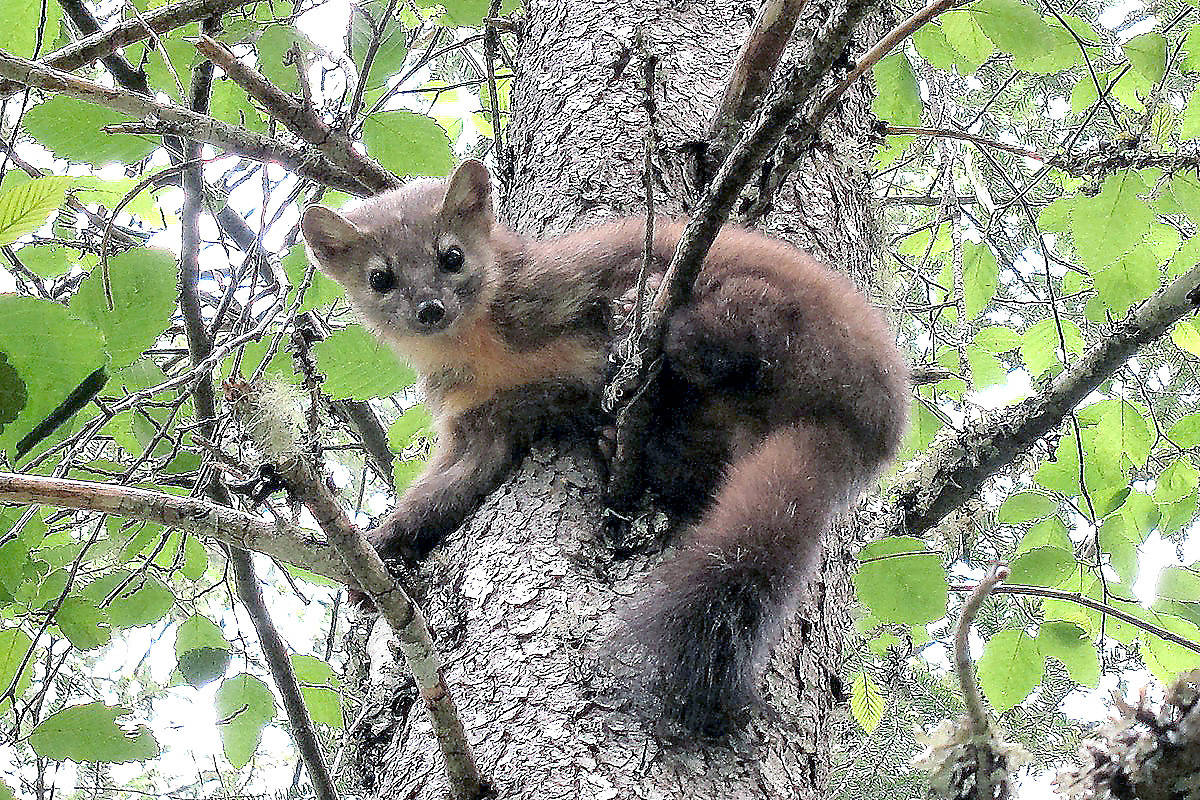 Pine marten is among the wildlife that calls Sooke Hills home. The CRD announced Monday it has bought another 15 hectares for Sooke Hills Wilderness Regional Park. This parkland addition will protect the environment and conserve the wilderness character of the Sooke Hills, say CRD officials. (Gary Schroyen photo)